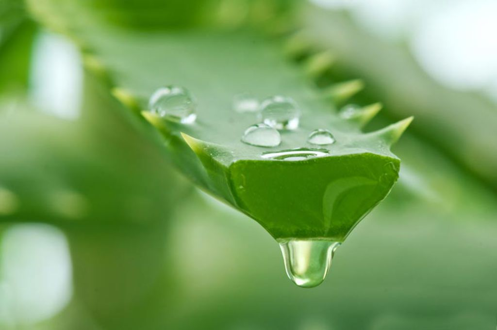 Aloe vera et syndrome de l'intestin irritable